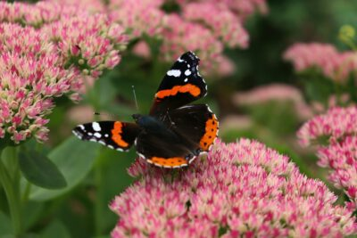 Admiral butterfly on flowers